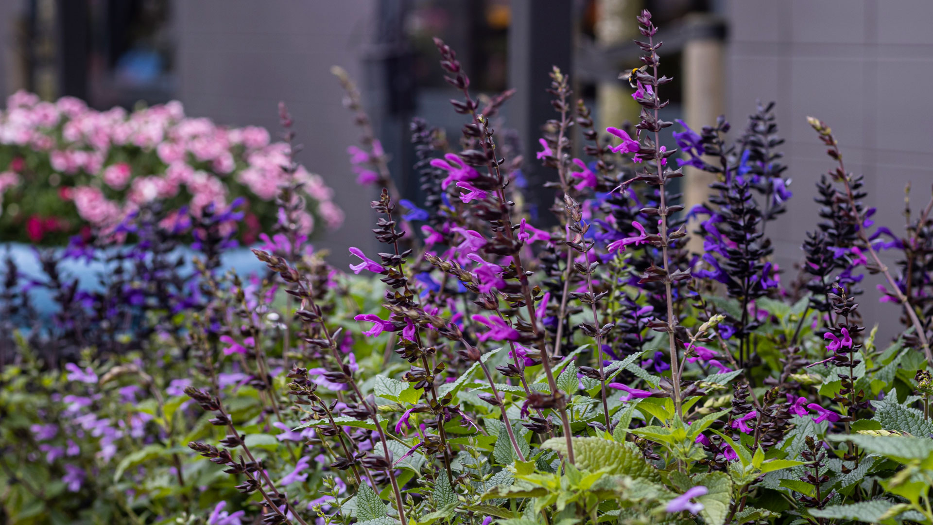 Header-HilverdaFlorist-Salvia-Salgoon
