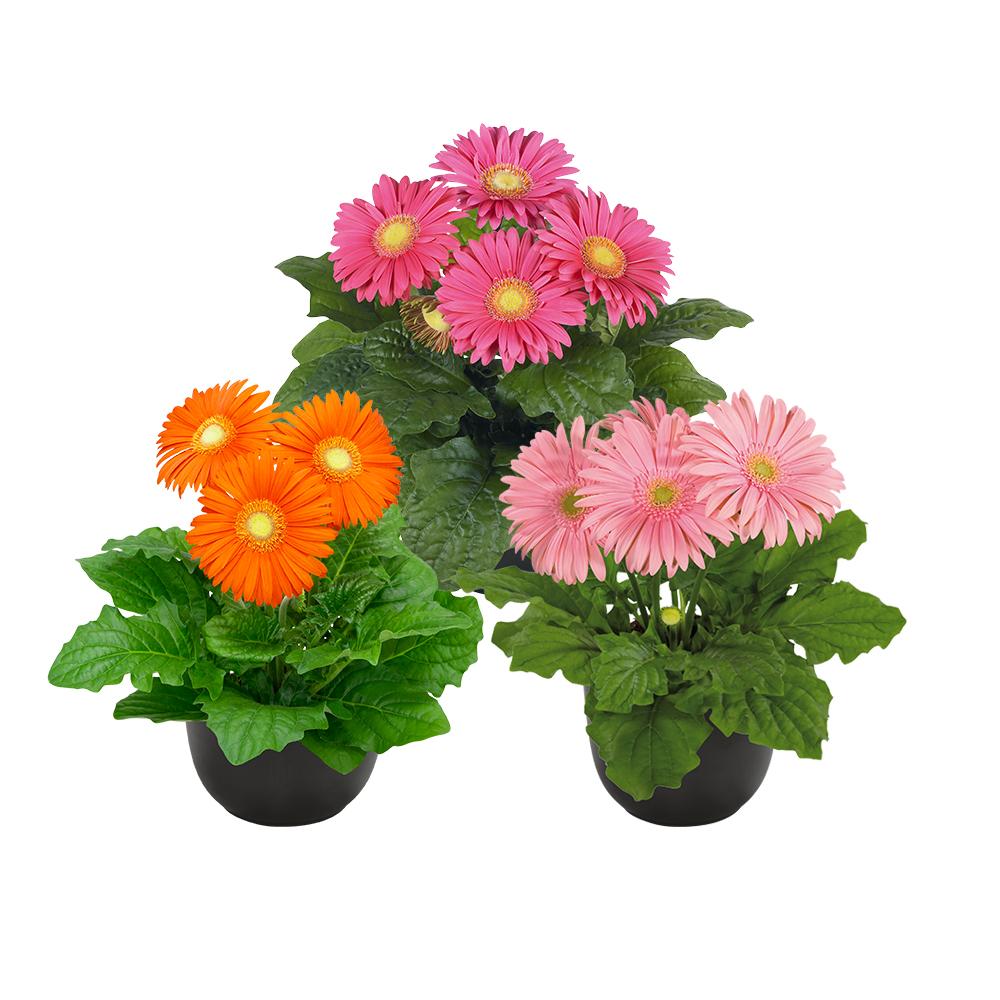 HilverdaFlorist - Pot Gerbera - Flori Line - Introductions 2021