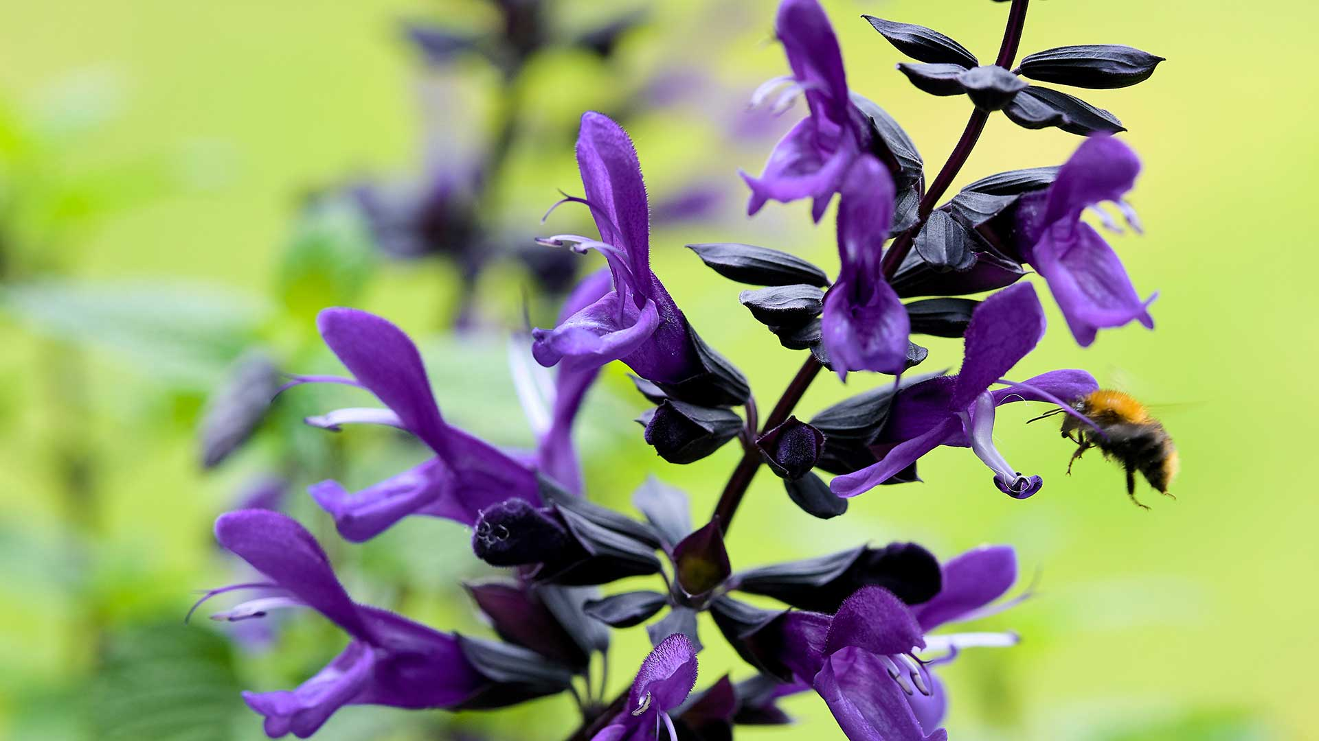 HilverdaFlorist_Salvia-Salgoon-header01