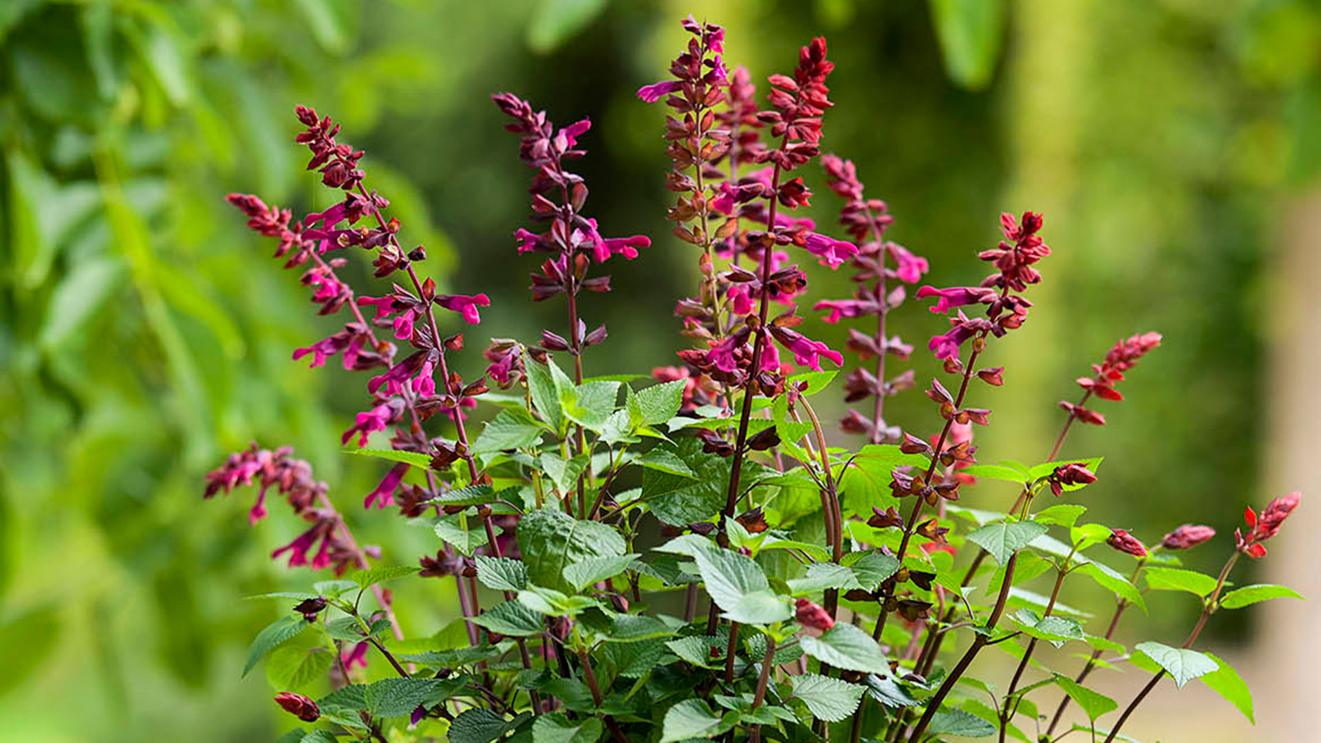 HilverdaFlorist_Salvia-Salgoon-header04